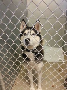 REUNITED WITH OWNER #FOUNDDOG 1-3-14 #GRABILL #IN MALE #SIBERIANHUSKY BLACK COLLAR NO TAGS MAIN ST  GRABILL VET CLINIC https://www.facebook.com/permalink.php?story_fbid=551696571588918&id=359140020844575&substory_index=0