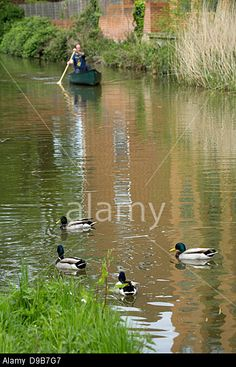 Four Mallard male ducks (Anas platyrhynchos) and a canoeist on the Oxford Canal
