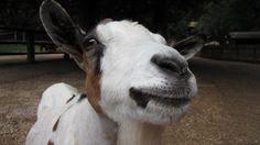 Closeup view of a nosey goat