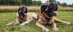14 Unusual Facts About The Gentle Giant Mastiff Best Guard Dogs, Big Dog Breeds, Unusual Facts, English Mastiff, Therapy Dogs, Gentle Giant, Big Dogs, Cool Things To Make, Doggies