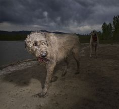 Irish Wolfhounds –Gentle when stroked, fierce when provoked.'