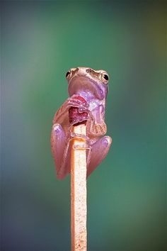 Itty Bitty Pink Frog,Feb. 19, 2013: A frog rests on this matchstick head in Jakarta, Indonesia.