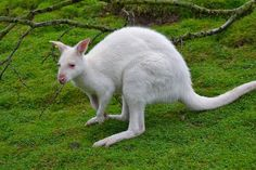 A rare albino kangaroo has been spotted roaming bushland outside Australia's capital, surprising wildlife experts who say such creatures are easy prey and usually die young. Description from animalspictureplanet.blogspot.com. I searched for this on bing.com/images