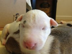 My baby Hercules :) ebt!! Love our english bull terriers !!!!