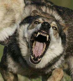 Ich mache dir was vor … I'll fuk you up… - Monde Des Animaux Wolf Images, Wolf Pictures, Wolf Spirit, Spirit Animal, Wolf Poses, Snarling Wolf, Animals And Pets, Cute Animals, Wolf Hybrid
