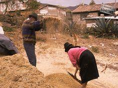 Secando trigo. Chimborazo - Ecuador.
