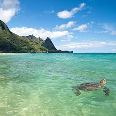 Sea turtles love the sunny coast of Kauai, Hawaii; coastalliving.com