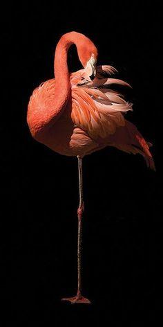 Buy Marina Cano (Flamingo II) Canvas Prints on The Art Group. Flamingo Photo, Flamingo Art, Pink Flamingos, Wild Animal Wallpaper, Flamingo Wallpaper, Wildlife Photography, Animal Photography, Beautiful Birds, Animals Beautiful