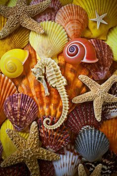 Seahorse And Assorted Sea Shells Photograph by Garry Gay - Seahorse And Assorted Sea Shells Fine Art Prints and Posters for Sale