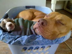 Pitbulls in our washing basket :) I Love Dogs, Cute Dogs, Awesome Dogs, Animals And Pets, Cute Animals, Nanny Dog, Pitbull Pictures, Bully Dog, Pit Bull Love