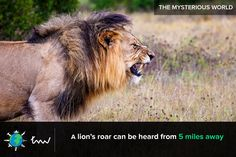 #lions #animals #facts