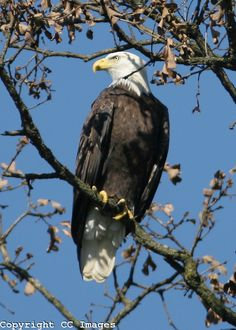Bald Eagle  Ozarks  Northwest Arkansas
