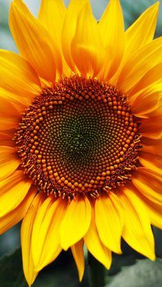 Resultado de imagem para sunflower macro