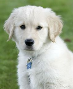 Golden-Retriever-Puppy Did you know that you can tell the dogs adult color by his ear fur color?