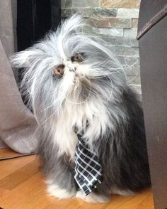 """Atchoum, the Persian cat that has what's known as hypertrichosis -aka """"werewolf syndrome."""" Some beautiful pictures of Persian cats and kittens. Cute Cats And Kittens, Cool Cats, Kittens Cutest, Pretty Cats, Beautiful Cats, Animals Beautiful, Beautiful Pictures, Animals And Pets, Funny Animals"""