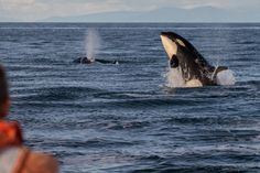 PHOTOS: Transient orcas seen frolicking off Saturna Island Orcas, Whale, Island, Animals, Block Island, Animales, Whales, Animaux, Islands