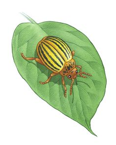 Colorado Potato Beetle Control for Healthy Potatoes, Eggplant, Peppers and More - Organic Gardening - MOTHER EARTH NEWS