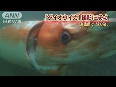 Giant Squid Captured On Camera In Japanese Bay, Swimming Alongside Divers | IFLScience