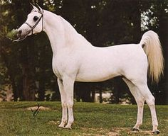 Full information about the sporthorse pedigree for Ansata Shah Zaman: including competition results, photos, videos, progeny, pedigree analysis. Animals And Pets, Cute Animals, Horse Coat Colors, Beautiful Arabian Horses, Arabian Stallions, Horse World, English Bull Terriers, White Horses, Palomino