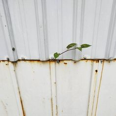 #myrustyfix#rust#rustic#rusty#tv_hiddenbeauty#screws#nothingisordinary_#wallfilth#filth#walls_talking#decay#urbandecay#lines#stripes#fence#constructionsite#construction#white#mnml#minimalmood#minimalism#build#construct#plant#survivor#willtolive#tv_hiddenbeauty
