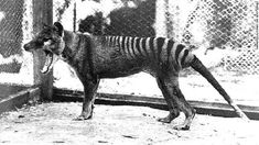 🔥 The extinct Tasmanian tiger a.a Thylacine. After several sightings, James Cook University are preparing to launch a search mission for the Tasmanian Tiger. Predator, Anthropologie, Tasmanian Tiger, Loch Ness Monster, Pet News, Live Animals, Prehistoric Creatures, Mythical Creatures, Extinct Animals