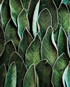 Laura Domingo - Fresh Sage Leaves