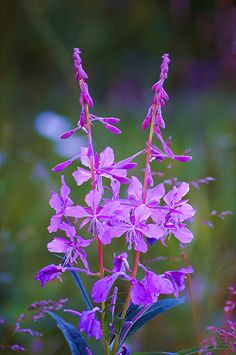 ~~Fireweed progress . . . | six more weeks until winter arrives once the blossoms reach the top of their stalk, Tolsona, Alaska by JLS Photography - Alaska~~
