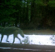 This Jan. 5, 2015 remote camera photo provided by the Oregon Department of Fish and Widllfie shows a... - AP Photo/Oregon Department of Fish and Wildlife