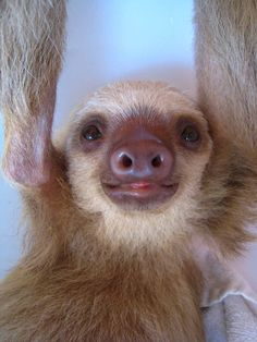 i love sloths!  this one is a baby! :)