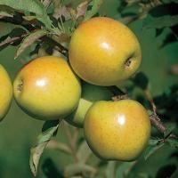 GoldRush Apple from Stark Bro's