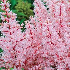 """Astilbe Look at Me Light: Part Sun to Full Shade Bloom Time: Early to Mid Summer Size: #1 root Zones: 4 to 8 Height: 15-17"""" - See more at: http://www.brecks.com/product/Astilbe_Look_at_Me/New_Garden_Plants#sthash.O4KqLHcp.dpuf"""