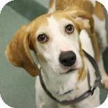 Richmond, VA - Hound (Unknown Type) Mix. Meet Brandy a Dog for Adoption.