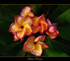 Hawaiian Flowers - The Plumeria Golden Pagoda by mad plumerian, via Flickr