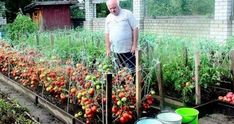 Organic Gardening In Florida Small Closed Kitchens, Family Dining Rooms, Cottage Style Homes, Growing Tomatoes, Traditional Kitchen, Organic Gardening, Garden Design, Outdoor Structures, Kitchen Dining