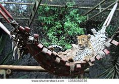 African Spotted Leopard