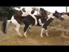 Apareamiento animal caballo apareamiento vídeo animal divertido 2015