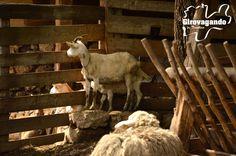 Un'altra esperienza importante la viviamo infine presso l'azienda La fonte di Mezzomonte dove Elisabetta Monti porta avanti una coltivazione ed un allevamento biologici. Un piccolo gregge di capre e pecore, accanto ad una vacca di razza Grigio alpina, produce quanto basta per una linea di formaggi dal sapore effettivamente originale.  http://www.girovagandointrentino.it/puntate/2013/estate/altipiani_cimbri/altipiani_cimbri.htm