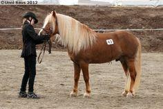 Nordland Horse / Lyngen Horse - stallion Bjørkevolds Trym
