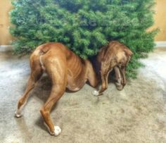 Boxer butts!  Best thing under the tree!  ;)