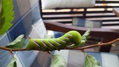 Sireenikiitäjän toukka Plants, Plant, Planets