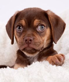 Puggle - Best Dog Breeds for First-Time Owners