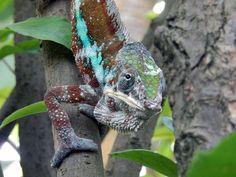 Chameleon, Dieren, Reptielen, Sluit, Zoeken Voedsel