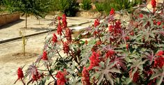 Proprietățile tămăduitoare ale ricinului. Interzis copiilor și gravidelor! | Paradis Verde Paradis, Medicine, Natural Remedies, Plant, Varicose Veins, Flowers