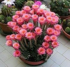 100 Pcs Climbing Cactus Flower Bonsai Succulents Indoor Flowering Cactus Plant Perennial Garden Ornaments Plants Purify The Air Succulent Seeds, Succulent Gardening, Cacti And Succulents, Planting Succulents, Cactus Plants, Planting Flowers, Indoor Cactus, Organic Gardening, Gardening Tips