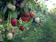 Chegworth Valley Strawberries - Kent