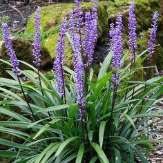 Liriope Muscari Royal Purple (Leliegras) - Bloei: 7-8, hoogte 20-40