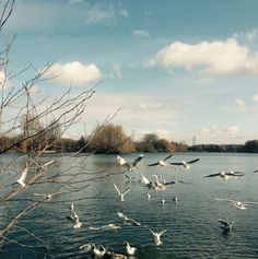 Gulls at Delapre Lake