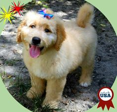 Hearthside Country - Hearthside Country | Home Page | Cocker Spaniels | Golden Retrievers | Goldendoodles