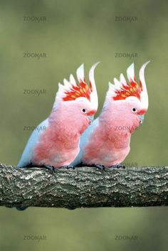 pink cockatoo,