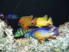 all male peacock cichlid tank - Google Search